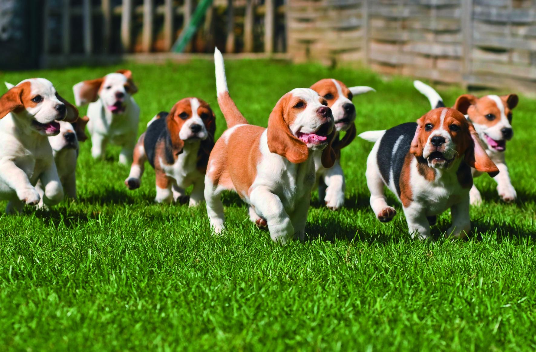 Beagle, Canis lupus f. familiaris, Beagle